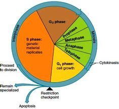 A level biology cycles essay